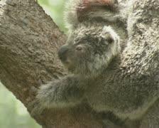 Koala baby joey (Phascolarctos cinereus) in mother's arms 05 Stock Footage