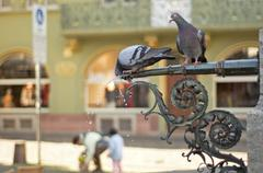 pigeons in the city - stock photo