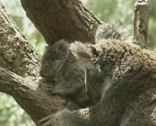 Koala baby joey (Phascolarctos cinereus) with mother in tree 06 Stock Footage