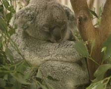 Koala (Phascolarctos cinereus) sleeps in tree  07 Stock Footage
