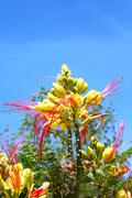 tropical locust flower - stock photo