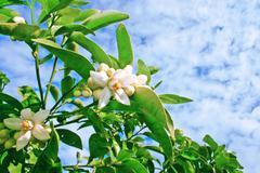 citrus flowers - stock photo