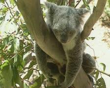 Koala (Phascolarctos cinereus) hangs on branch 08 Stock Footage