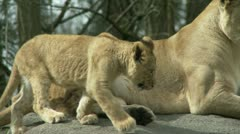 Lioness and Cub Stock Footage