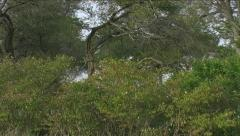 Leopard rushing back down tree to retrieve dropped kill - stock footage