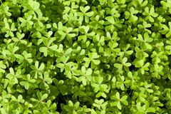 fresh spring clover background - stock photo