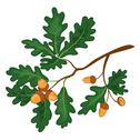 Stock Illustration of Oak branch with leaves and acorns