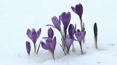 Early violet crocus in the wind breeze Stock Footage