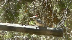 Ladder backed Woodpecker in Texas Hill Country I Stock Footage