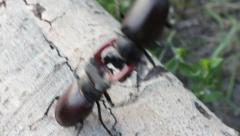 Stag Beetles Fight  #3 HD Stock Footage