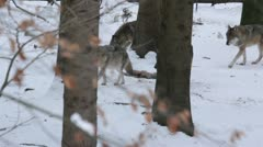 Pack of gray wolves (Canis lupus) in a snowy forest , in winter. - stock footage