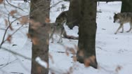 Stock Video Footage of Pack of gray wolves (Canis lupus) in a snowy forest , in winter.