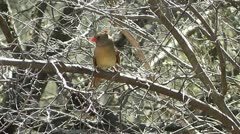Female Cardinal turns around on a branch Stock Footage