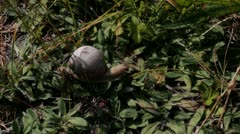 Land Snail Crawls over Forest Ground - 25FPS PAL Stock Footage