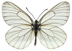 Isolated Black-veined White butterfly Stock Photos