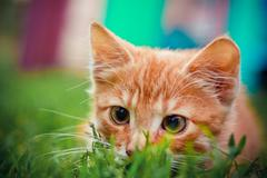 young kitten is hunting on green grass - stock photo