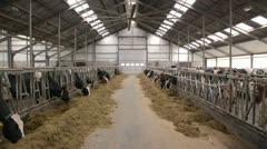 cows in a dutch barn - stock footage