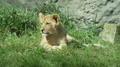 Lion Cub Stock Footage