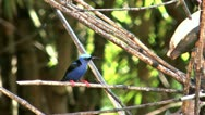 Red legged honeycreeper Stock Footage