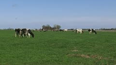 Stock Video Footage of Black Holstein-Friesian dairy cattle graze in Dutch polder - wide shot