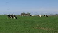 Stock Video Footage of Black Holstein-Friesian dairy cattle graze in Dutch polder - wide shot