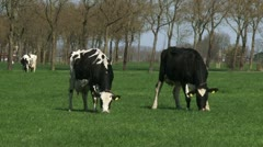 Pair of black Holstein-Friesian dairy cattle graze in Dutch polder landscape Stock Footage