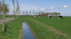 Road + ditch  in Dutch polder landscape, Holstein-Friesian dairy cattle graze Stock Footage