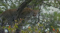 Leopard in tree snarling Stock Footage