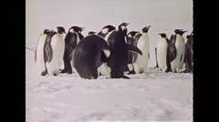 1940 - Antarctica Penguins Stock Footage