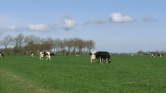 Black Holstein-Friesian dairy cattle graze in Dutch polder landscape Stock Footage