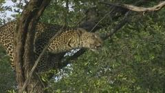 Leopard jump up into tree - stock footage