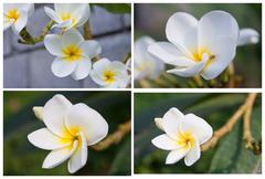 Collection Branch of tropical flowers frangipani  plumeria   Stock Photos
