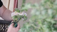 Stock Video Footage of Man harvests and trims medical Marijuana plant