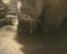 Wombat (vombatus ursinus) drinks - close up Stock Footage