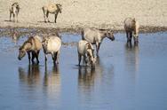 Herd of wild horses Stock Photos