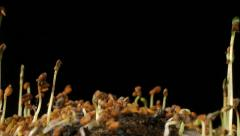 Long time lapse of alfalfa seeds germinating and growing Stock Footage