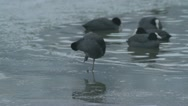 Stock Video Footage of Cleansing Coot - 25FPS PAL
