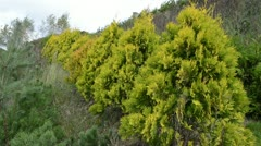 Row thuja evergreen bush plant alley avenue move wind Stock Footage