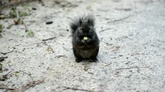 black squirrel - stock footage