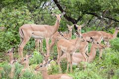 Flock of impala antelope - stock photo