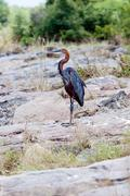 Watching Purple Heron Stock Photos