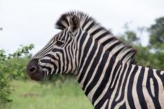 Burchell's Zebra - stock photo