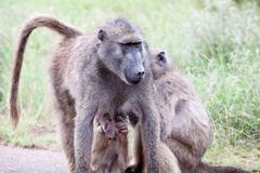 Family of Olive Baboon on the road Stock Photos