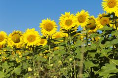 Stock Photo of Sunflowers on sunny day