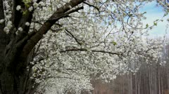 Bradford pear trees in bloom 3 Stock Footage