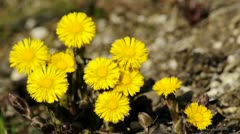 Blooming coltsfoot Stock Footage