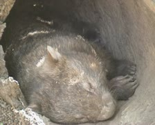 Wombat (vombatus ursinus) sleeps in hollow tree trunk - close up 02 Stock Footage
