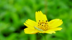 Even when wind has blown, a little grasshopper is staying on yellow flower. Stock Footage