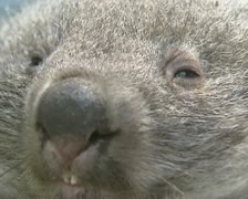 Wombat (vombatus ursinus) sleepy, extreme close up face Stock Footage