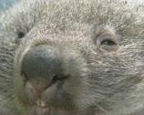 Stock Video Footage of Wombat (vombatus ursinus) sleepy, extreme close up face